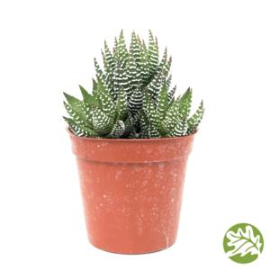 "HAWORTHIA Coarctata Medium 3"" pot #3692"